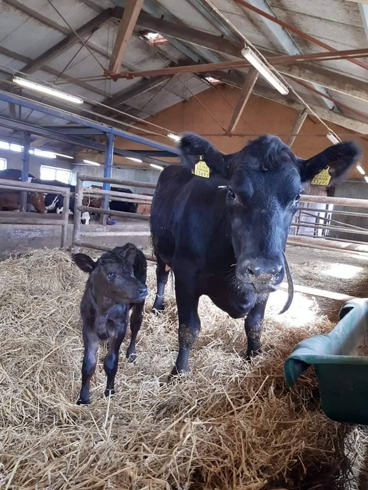 29.07.2020 sündis Järvamaa Kutsehariduskeskuse õppefarmis esimene puhtatõuline aberdiin-anguse lehmvasikas.